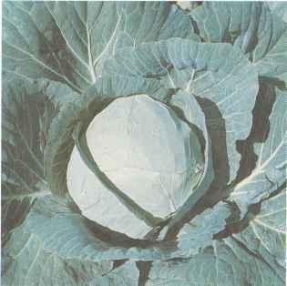 Позднеспелый сорт белокочанной капусты Амагер 611