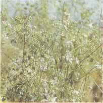 Семенные растения кориандра