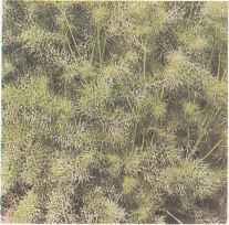 Молодые растения нигеллы