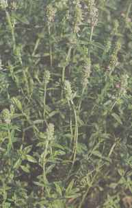 Цветущие растения тимьяна