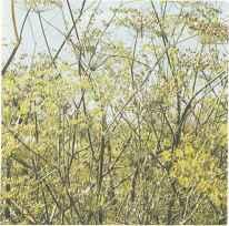 Цветущие растения тмина второго года жизни