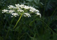 Выращивание аниса, его свойства и использование