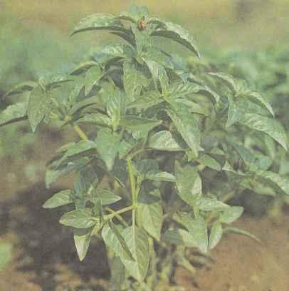 Выращивание базилика, его свойства, использование