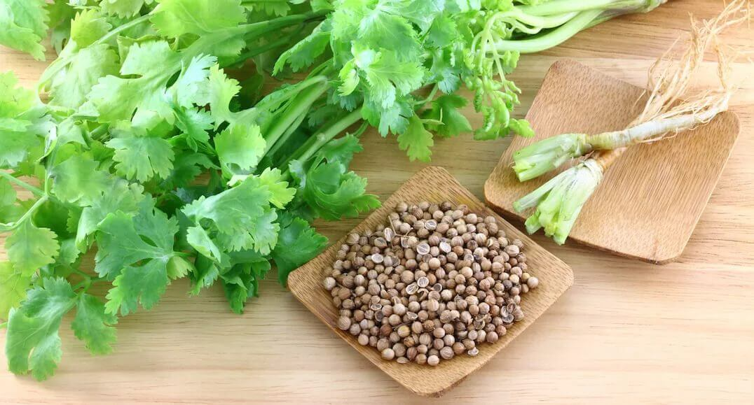 Выращивание кориандра, свойства кориандра, использование