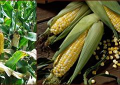 Кукуруза, маис