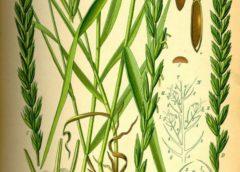 Полезные и лечебные свойства пырея ползучего (ржанца)