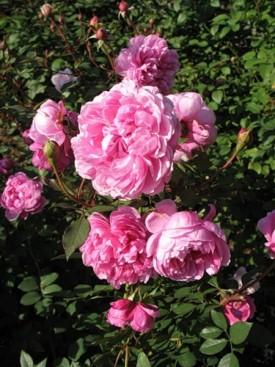 Полезные и лечебные свойства розы крымской, розы французской, или галльской