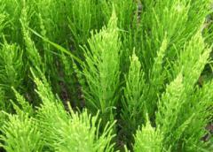 Полезные и лечебные свойства хвоща полевого (сосенка)