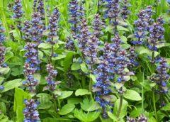 Полезные и лечебные свойства живучки мохнатой